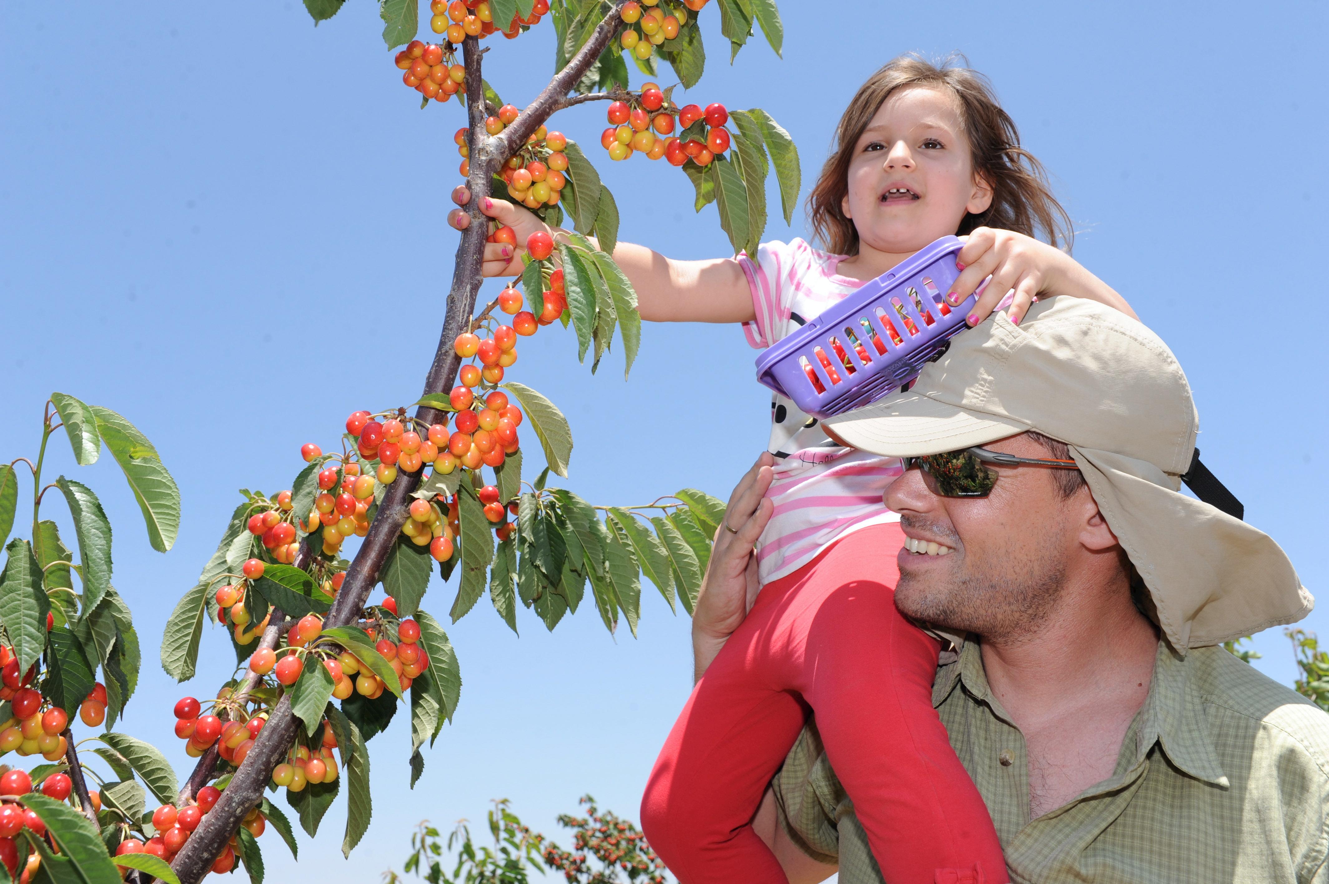 Сезон сбора ягод в Израиле открыт: что, где, когда и сколько это стоит. Все подробности